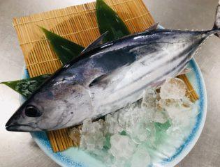 気仙沼「鮮カツオ漁」首位へ!